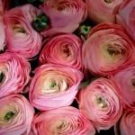 Ranunkel-Extra-rose