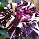 Rieger-Botanik_Rose