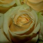 Rose-Avalanche-Peach