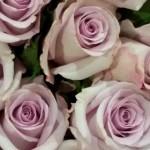 Rose-Blue-Ocean