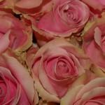 Rose-Pink-Charme
