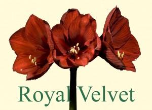 Rieger-Botanik_Royal-Velvet
