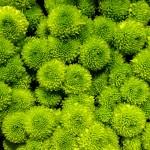 Santini-Ponpon-grün