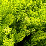 Thlaspi-Green-Bell