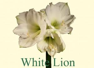 Rieger-Botanik_White-Lion