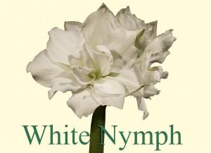 Rieger-Botanik_White-Nymph