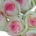 Rose Ecuador - Esperance