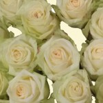 Rose - Avalanche