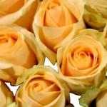 Rose - Avalanche-Peach